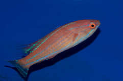 Filamented Flasher Wrasse Male. The Filamented Flasher Wrasse, also known as the Whip-fin Fairy Wrasse, originates from the waters of the Indo-Pacific. The Stock Image