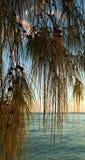 Filao tree Stock Photo