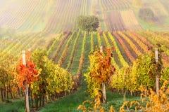 Filas coloridas de viñedos en otoño Árbol solo verde en niebla entre viñedos Paisaje escénico del otoño de Moravia del sur en Che Imagenes de archivo