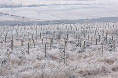 Filas congeladas de los viñedos en invierno moldova Foto de archivo