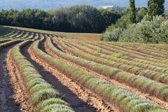 Filas cosechadas del campo de la lavanda en el verano, Provence Imágenes de archivo libres de regalías