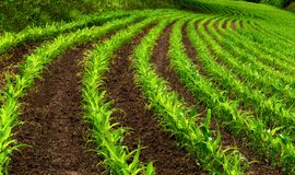 Filas curvadas de las plantas de maíz jovenes Fotos de archivo libres de regalías