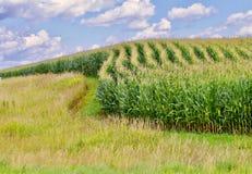 Filas curvadas del maíz Imágenes de archivo libres de regalías