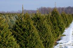 Filas de árboles de navidad vivos Foto de archivo libre de regalías