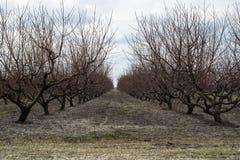 Filas de árboles desnudos en huerta del melocotón del invierno Imágenes de archivo libres de regalías