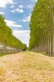 Filas de árboles en campo Imágenes de archivo libres de regalías