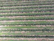 Filas de árboles en el jardín Aerophotographing, visión superior Foto de archivo