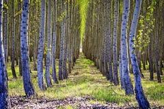 Filas de árboles en una plantación maderera Fotos de archivo libres de regalías