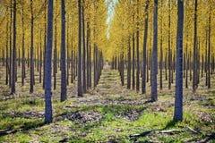 Filas de árboles en una plantación maderera Fotos de archivo