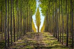 Filas de árboles en una plantación maderera de Oregon Imágenes de archivo libres de regalías