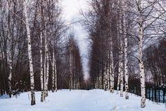 Filas de abedules en el bosque del invierno Imágenes de archivo libres de regalías
