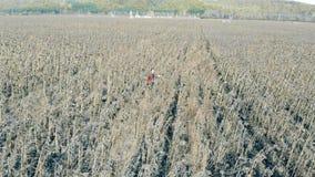 Filas de girasoles secados, visión superior Una persona comprueba las plantas muertas en tierras de labrantío almacen de metraje de vídeo