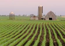 Filas de habas en granja Fotos de archivo libres de regalías