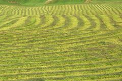 Filas de la hierba recientemente cortada Imagen de archivo