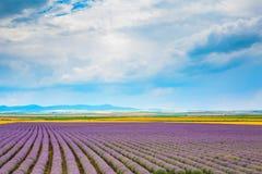 Filas de la lavanda en el campo y el fondo nublado del cielo azul Foto de archivo