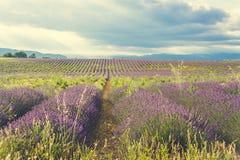 Filas de la lavanda floreciente en Provence, Francia imágenes de archivo libres de regalías