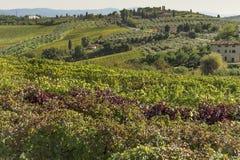 Filas de la vid en moho y forma roja una alfombra sobre la Rolling Hills en Toscana Fotos de archivo