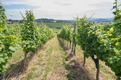 Filas de la vid de uva del viñedo en sol Imagen de archivo libre de regalías