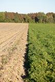 Filas de las cosechas del cacahuete Foto de archivo libre de regalías