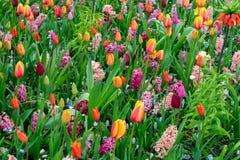 Filas de las flores del tulipán Fotografía de archivo libre de regalías