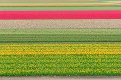 Filas de las flores del tulipán Imagen de archivo libre de regalías