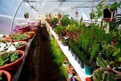 Filas de las flores para la venta en un invernadero arqueado foto de archivo