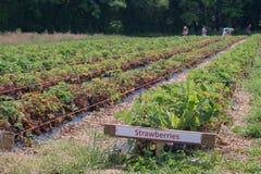filas de las plantas de fresa Imagen de archivo libre de regalías