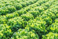 Filas de las plantas de la endibia en tierras de labrantío imágenes de archivo libres de regalías