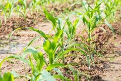 Filas de las plantas de maíz jovenes Fotos de archivo libres de regalías