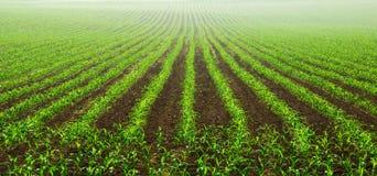 Filas de las plantas de maíz jovenes Imágenes de archivo libres de regalías