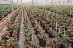 Filas de las plantas florecientes del Abutilon imagen de archivo libre de regalías