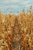 Filas de las plantas de maíz secadas, Zea mayos Fotografía de archivo libre de regalías