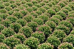 Filas de las plantas ornamentales del crisantemo Fotografía de archivo libre de regalías
