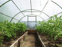 Filas de las plantas de tomate que crecen el invernadero interior Imagenes de archivo