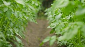 Filas de las plantas verdes crecientes de las patatas almacen de metraje de vídeo