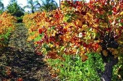 Filas de las vides de uva con las hojas de otoño Fotos de archivo