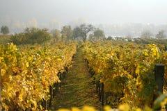 Filas de las vides de uva en Austria Fotografía de archivo libre de regalías