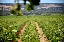 Filas de las vides de uva en el valle de McLaren Imagenes de archivo