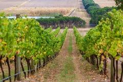 Filas de las vides de uva que van abajo de la colina Imagen de archivo libre de regalías