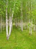 Filas de los árboles de abedul con la hierba verde y las flores Foto de archivo