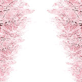 Filas de los árboles de Cherry Blossom Foto de archivo libre de regalías