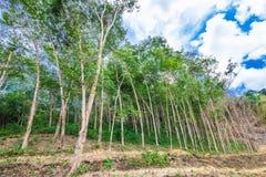 Filas de los árboles de goma, Foto de archivo libre de regalías