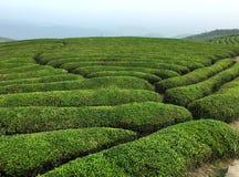 Filas de los árboles del té bajo Foto de archivo