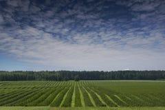 Filas de los almácigos del arbusto de pasa como composición del fondo Imagenes de archivo