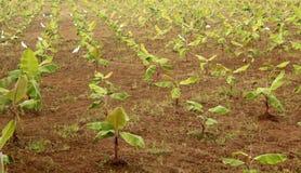 Filas de los pequeños árboles de plátano Imagen de archivo