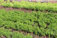 Filas de los veggies producidos de la semilla en la cama de flor de un parque industrial Imagen de archivo