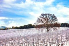 Filas de los viñedos cubiertas por la nieve en invierno y un árbol Chianti, la Florida foto de archivo libre de regalías