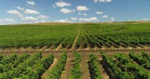 Filas de los viñedos en el campo agrícola en el campo, paisaje agrícola hermoso Opini?n a?rea del abej?n metrajes
