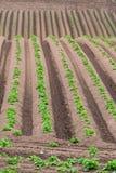 Filas de patatas nuevamente emergentes Imagen de archivo libre de regalías
