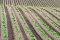 Filas de patatas nuevamente emergentes Foto de archivo libre de regalías